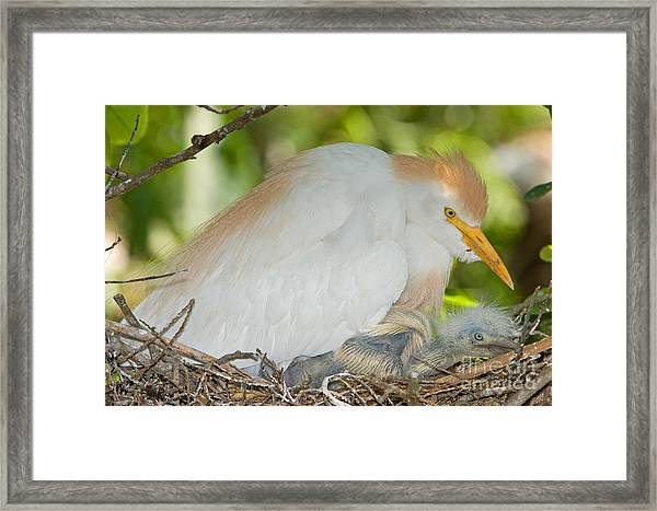 Cattle Egret At Nest With Young Framed Print