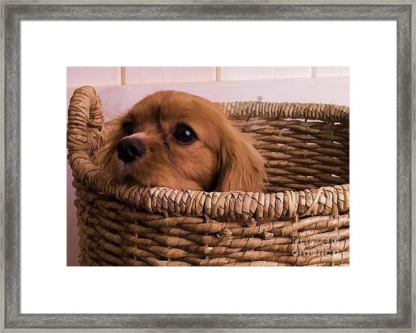 Cavalier King Charles Spaniel Puppy In Basket Framed Print