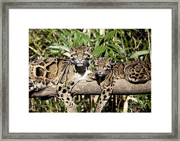 Framed Print featuring the photograph Clouded Leopards by Brian Jannsen