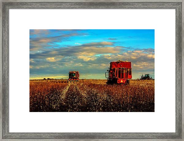 Cotton Harvest Framed Print