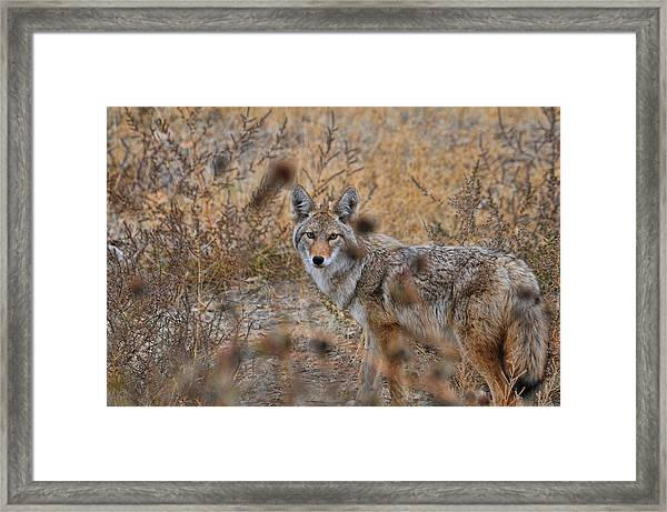 Framed Print featuring the photograph Coyote Eyes by David Armstrong