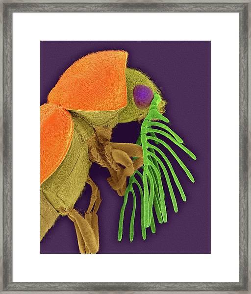 Deathwatch Beetle Framed Print
