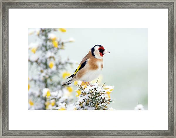 European Goldfinch Framed Print by John Devries/science Photo Library