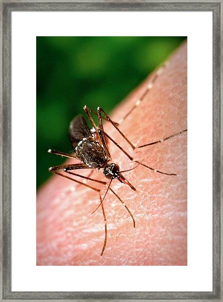 Feeding Mosquito Framed Print by Cdc/science Photo Library