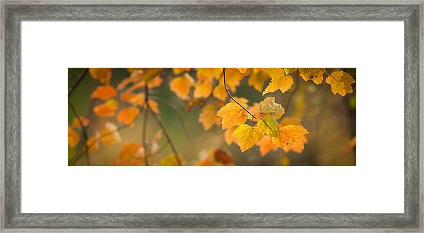 Golden Fall Leaves Framed Print
