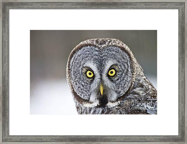 Great Gray Owl Portrait Framed Print