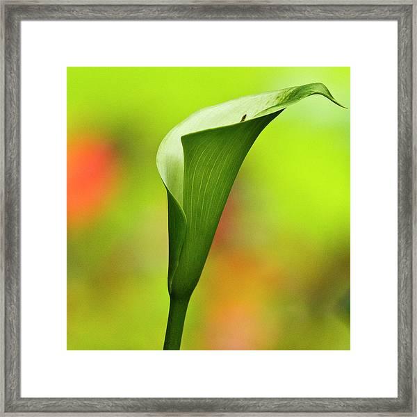 Green Calla Lily Framed Print