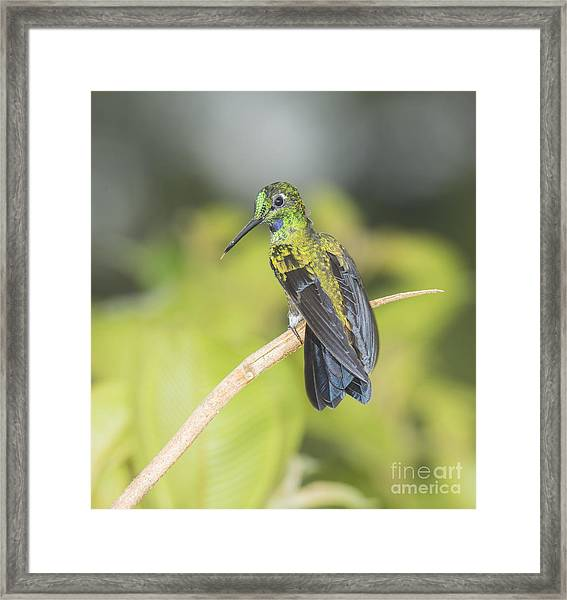 Green-crowned Brilliant Hummingbird Framed Print