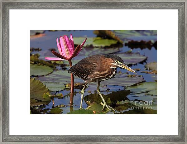 Green Heron Photo Framed Print