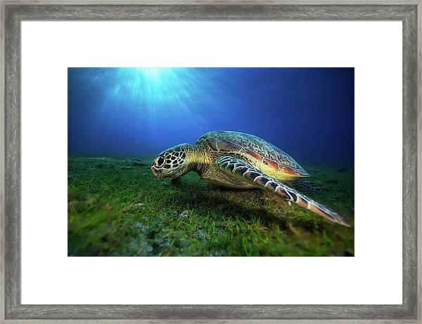 Green Turtle Framed Print by Barathieu Gabriel