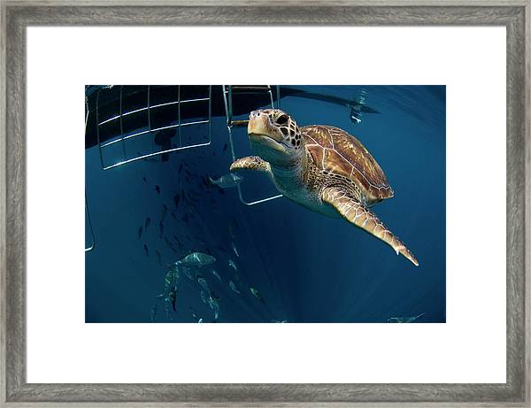 Green Turtle Swimming Framed Print by Peter Scoones/science Photo Library