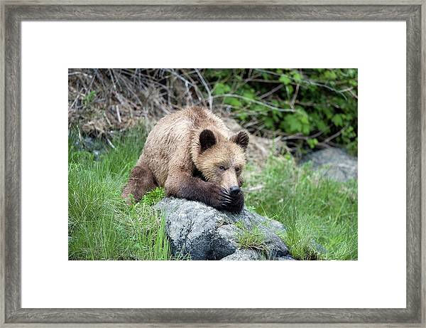 Grizzly Bear Framed Print by Dr P. Marazzi/science Photo Library