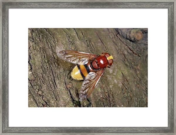 Hornet Mimic Hoverfly Framed Print