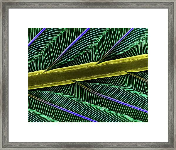 Hummingbird Feather Shaft Framed Print by Dennis Kunkel Microscopy/science Photo Library