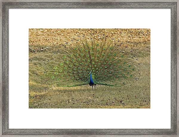 Indian Peacock Framed Print by Tony Camacho/science Photo Library