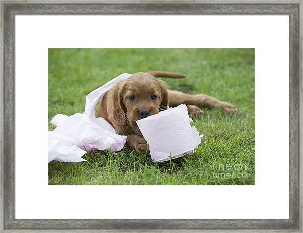 Irish Setter Puppy Framed Print