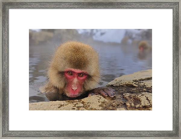 Japanese Macaque In Hot Spring Framed Print