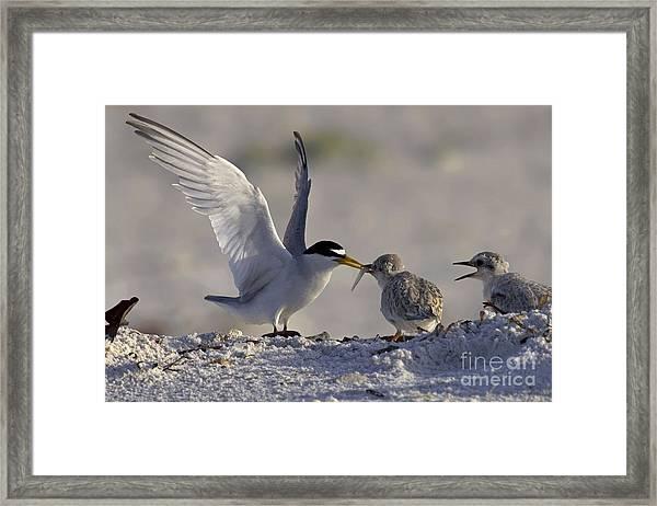 Least Tern Feeding It's Young Framed Print