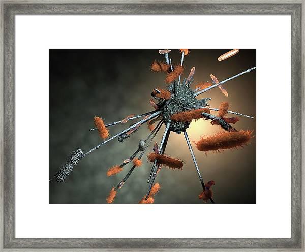Macrophage Engulfing Bacteria Framed Print by Hipersynteza