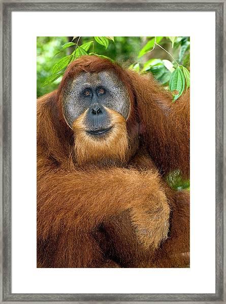 Male Sumatran Orangutan Framed Print