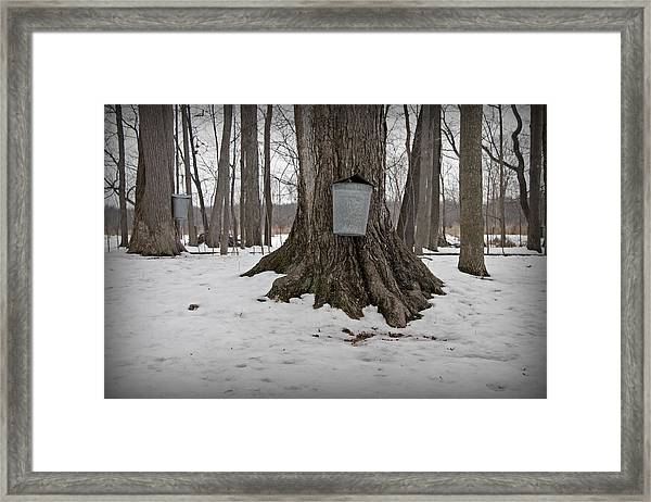 Maple Sugaring Framed Print