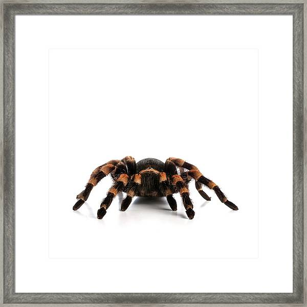 Mexican Redknee Tarantula Framed Print by Science Photo Library