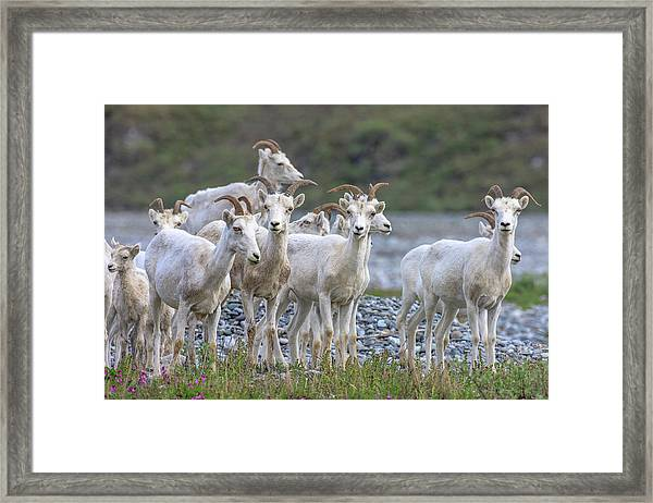 Mountain Goats Along Kongakut River Framed Print
