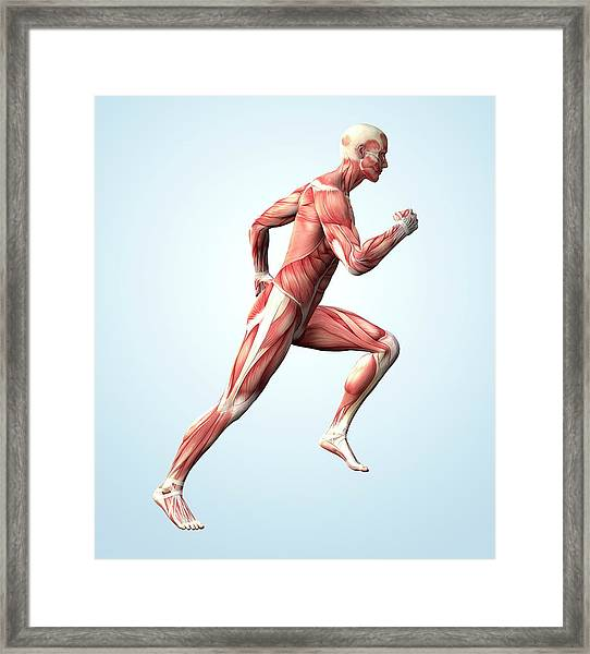 Muscular System Framed Print by Roger Harris
