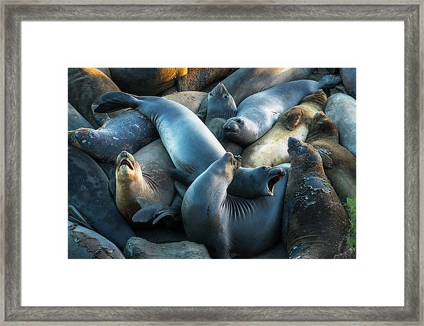 Northern Elephant Seals At Piedras Framed Print by Russ Bishop