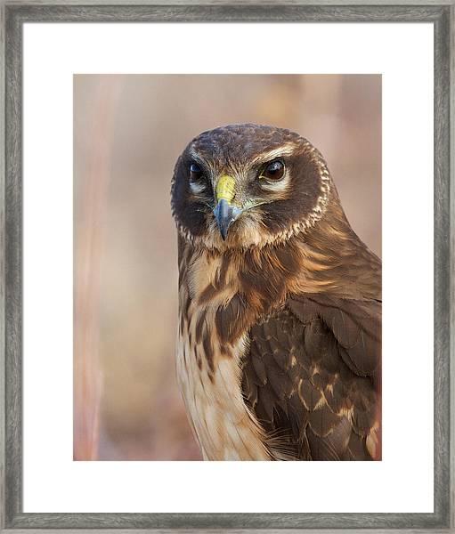 Northern Harrier Female Framed Print