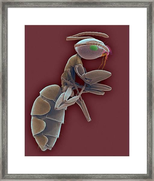 Odorous House Ant Framed Print