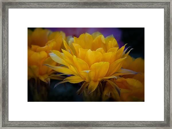 Orange Cactus Flowers  Framed Print