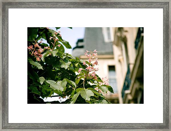 Paris The City Of Blossoming Chestnut Trees  Framed Print