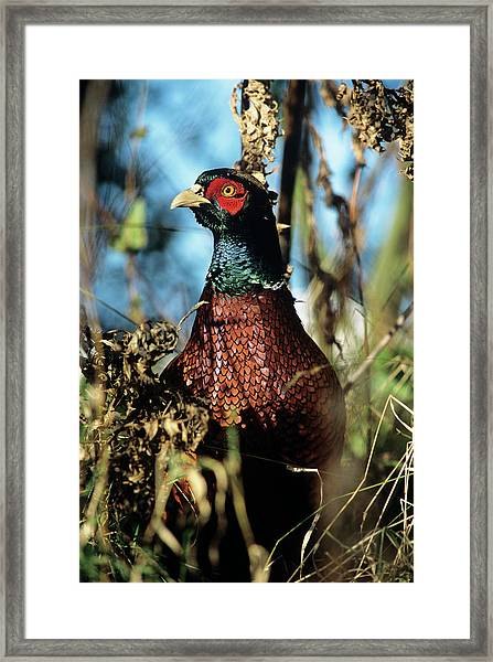 Pheasant Framed Print by Duncan Shaw/science Photo Library