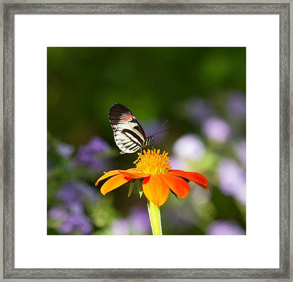 Piano Key Butterfly Framed Print