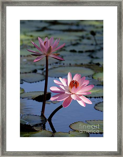 Pink Water Lily In The Spotlight Framed Print