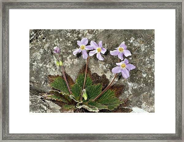Pyrenean Violet (ramonda Myconi) Framed Print