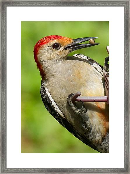 Red Bellied Woodpecker Framed Print