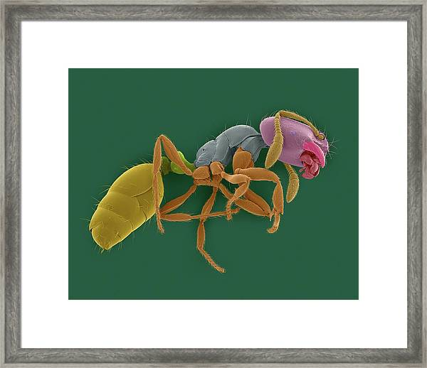 Red Imported Fire Ant Framed Print