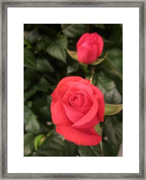 Roses In Red Framed Print