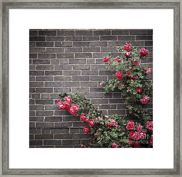 Roses On Brick Wall Framed Print
