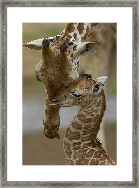 Rothschild Giraffe And Calf Framed Print