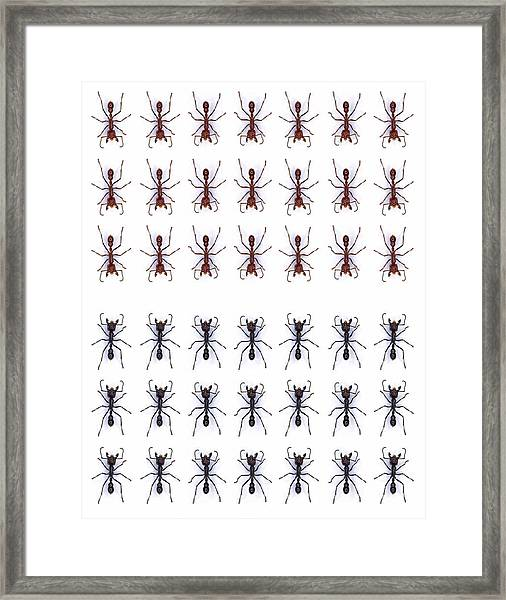 Rows Of Ants Framed Print by Gustoimages/science Photo Library