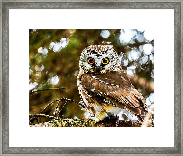 Saw-wet Owl Framed Print