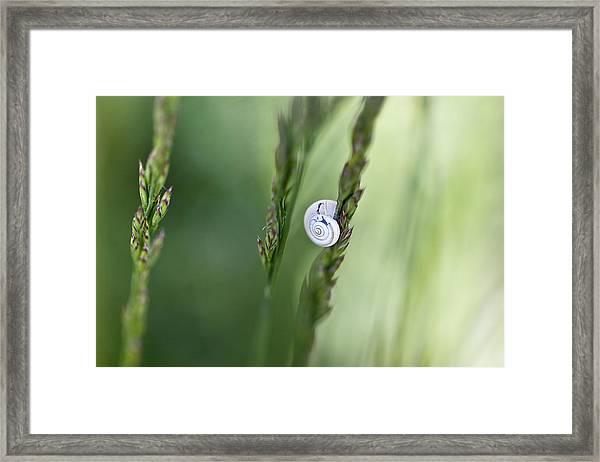 Snail On Grass Framed Print