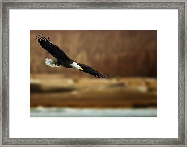 Soaring Bald Eagle Framed Print