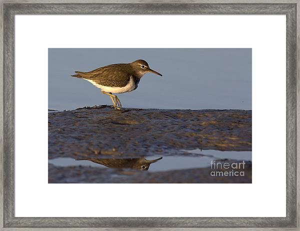 Spotted Sandpiper Reflection Framed Print