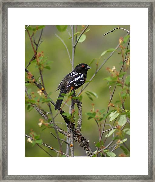 Spotted Towhee Framed Print