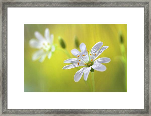 Stitchwort Framed Print by Mandy Disher