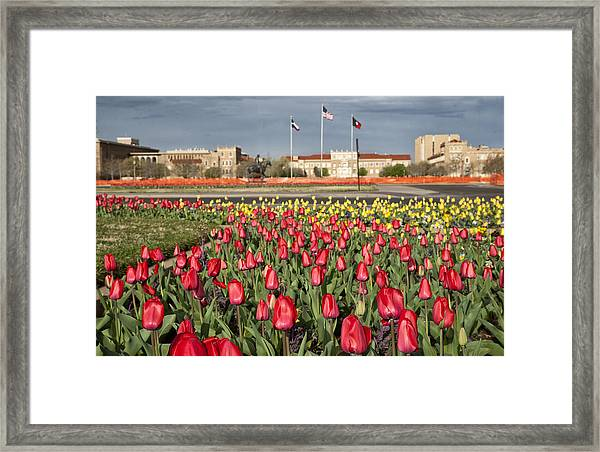 Tulips At Texas Tech University Framed Print